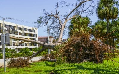 Tree Toppled By Hurricane Irma In Front Of Condominium Building